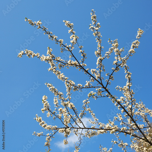 Papiers peints Cerises Blossoming twigs of cherry-tree (on blue sky background)