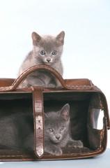 le cache-cache de deux chatons bleu russe