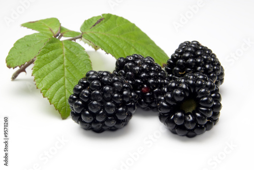 Close up of four freshly picked blackberries