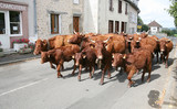 Troupeau de vaches Salers (Cantal)