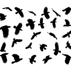vector flying crows