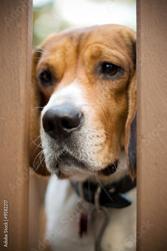 A young beagle dog looking sad.  Separation anxiety.