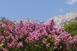 blossoming bush pink colors on  background of mountains