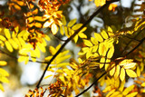 Autumn branch of the rowan. Yellow leaves in the sunlight.