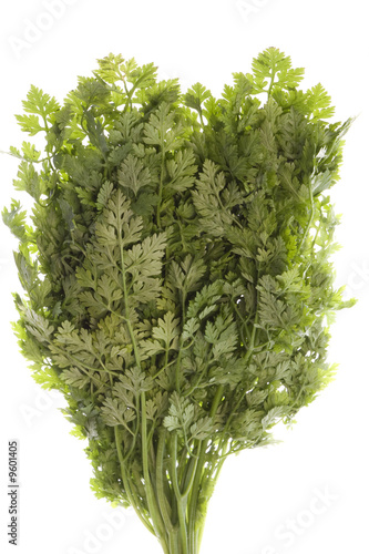 Isolated image of Chervil herb leaves used in some cooking.