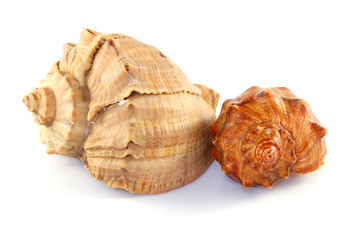 Two sea shells