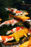 Koi fish in a feeding frenzy