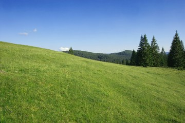 Green field and pine forests in the carpathians