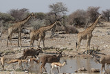 Wildlife am Wasserloch im Etosha Nationalpark, Namibia poster
