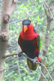 Colorful Lori Parrot Commonly Found in the Tropics poster
