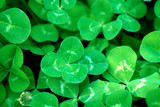a background of a green clover patch close-up poster