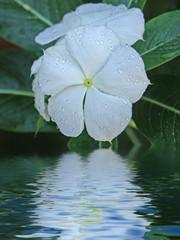 fleurs blanches de pervenche