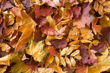 A pile of dry autmn leaves.