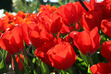 Field of red tulips in botanical garden poster