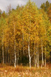 Autumn trees. Birches with orange leaves. Meadow
