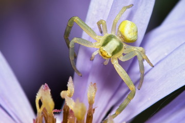 Extreme macro of a small spider on flower