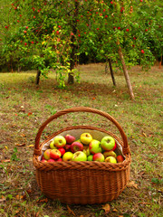 basket full of apples, apple tree in the background