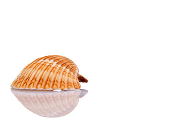 Seashell isolated on white with space for text