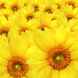 Yellow sunflower flowers Atop One Another - Fine Art prints