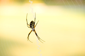 A writing or scribbler orb weaver spider.