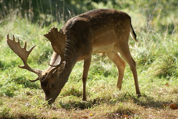 stag. male deer. deer rooting for acorns