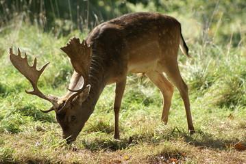 stag. male deer. deer rooting for acorns
