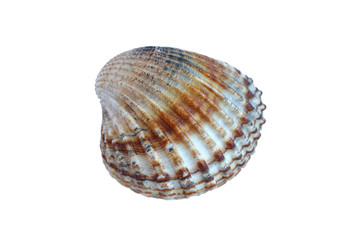 Small sea shell (isolated on white background)