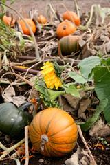 Pumpkin patch with a sunflower