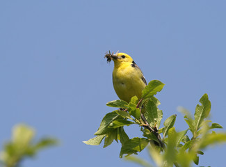 Yellow Wagtail with food in it's beak