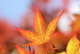 vibrant maple-leaves in autumn colors poster