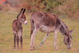 Donkeys on a farm poster
