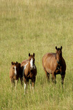 Three horses standing in a field with grass up to their knees poster