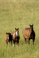 Three horses standing in a field with grass up to their knees