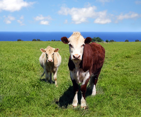 Close-up of two cows on green meadow