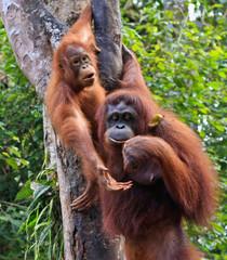 two orangatang