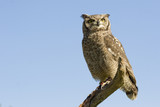 reticulated eagle owl over blue sky with copy space poster