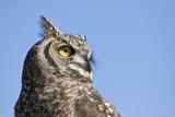 reticulated eagle owl closeup over blue sky poster