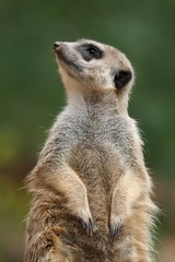 Cute meerkat or suricate on the lookout