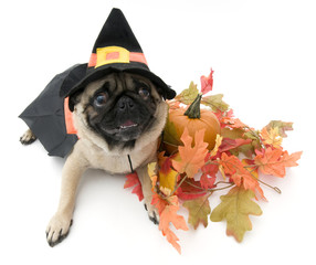 Pug Dressed as a Witch for Halloween