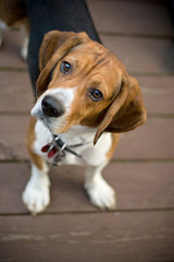 A young beagle dog tilting his head out of curiosity.