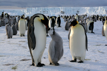 Emperor penguin with chick (Ross sea/Antarctic)