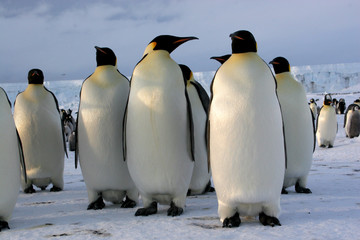 Manchots Empereurs (Emperor penguins) Antarctique