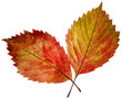 two transparent autumn leaf