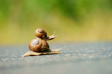 garden snails racing on road