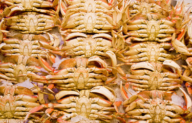 Rows of fresh dungeness crabs on ice in a seafood market