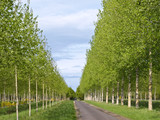 The gentle-green avenue of young trees leaving afar poster