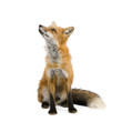 Red fox (4 years) - Vulpes vulpes in front of a white background - 9718615