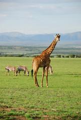 Alone giraffe in savannah, Tanzania