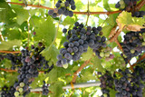 Famous Croatian grapes from Dingac poster