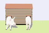 illustration of  two well kept  Great Yorkshire  Pigs